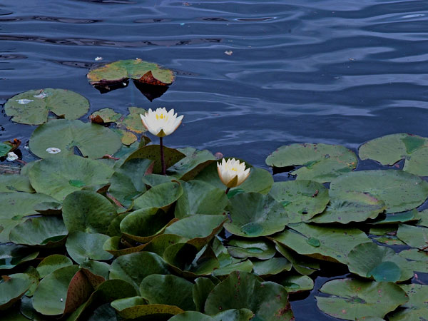 <strong>Water Lilies</strong> The white floating flowers that adorn the reflection pond are reminiscent of the souls that were lost in the Holocaust, Memorial designer Ken Treister said.